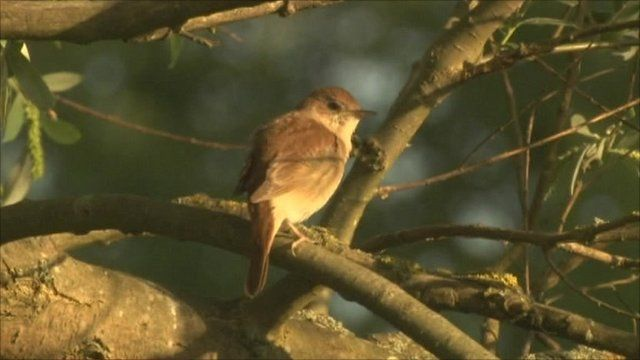 Nightingale bird