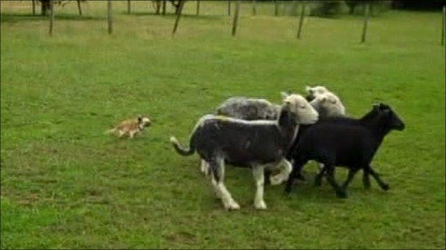 Nancy, chihuahua, herding sheep