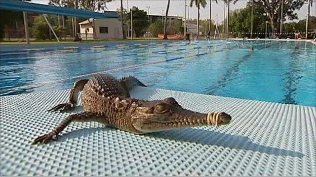 Crocodile takes dip in swimming pool bbc news - Can babies swim in saltwater pools ...