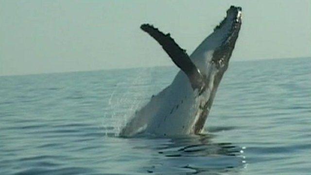 Hump back whale breaches