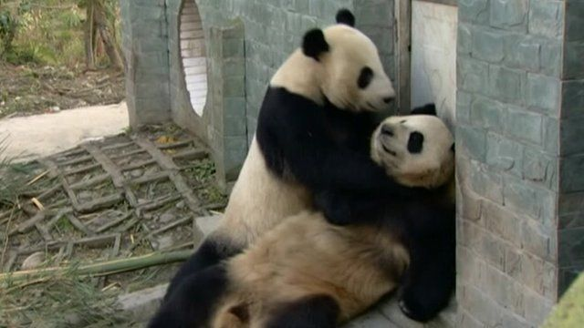 panda slots edinburgh zoo