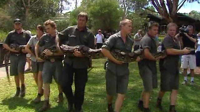 Men carrying Atomic Betty, the giant python