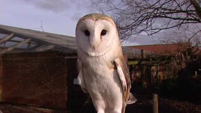 Barn owl at a farm