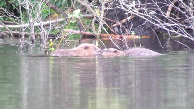Young beavers swimming in a loch