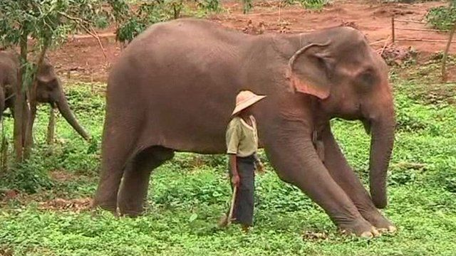 An elephant with a trainer