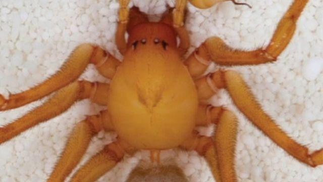 Trogloraptor spider