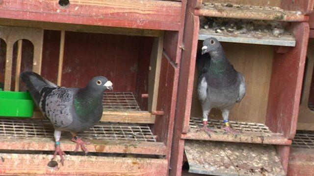 Pigeons in their pigeon loft