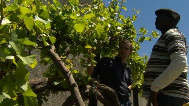 Vines on Robben Island