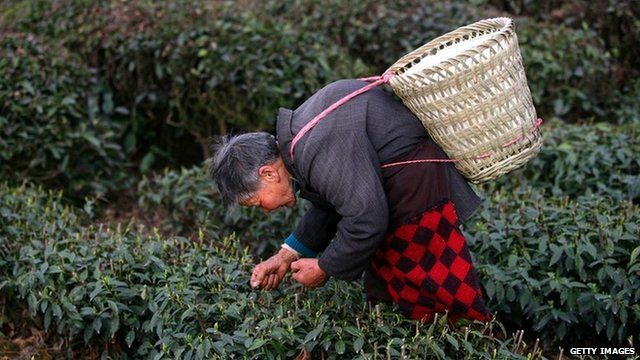 A worker at a Chinese tea plantation