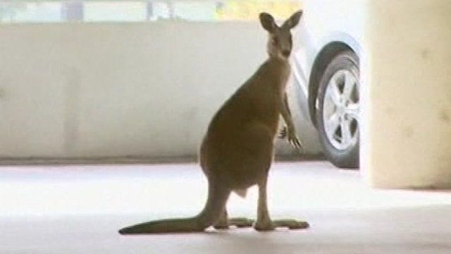 The kangaroo in the car park
