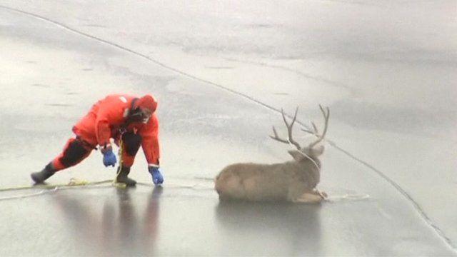 Rescue worker helping deer on lake