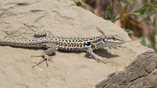 Lizard on a rock