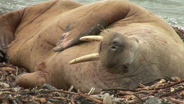 Walrus on a beach