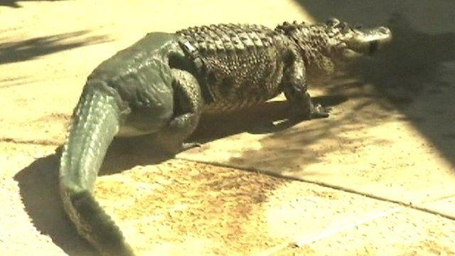 Mr Stubbs the alligator