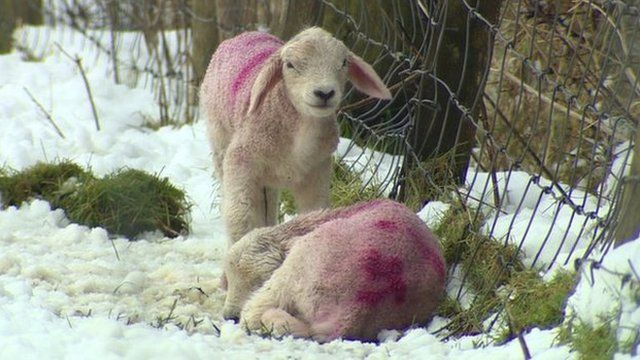 Sheep in the Glens of Antrim have been trying to take shelter from the biting cold