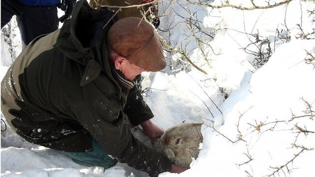 Gareth Wyn Jones pulls out a pregnant sheep from the snow