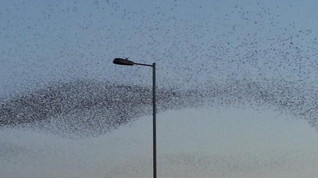 Starlings over Swindon
