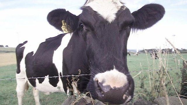 A dairy cow