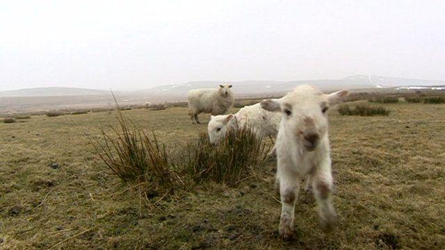 Sheep with new lambs, Snowdonia