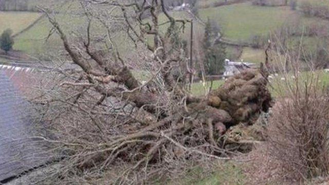 The fallen Pontfadog Oak