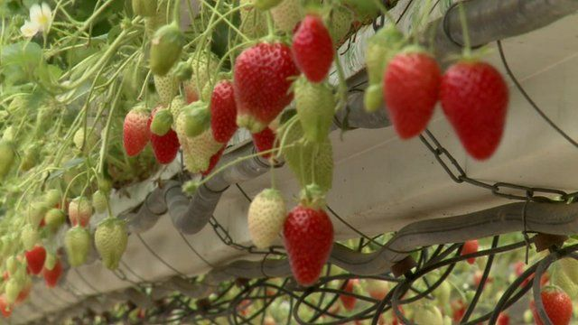 Strawberries at a farm in the Lot