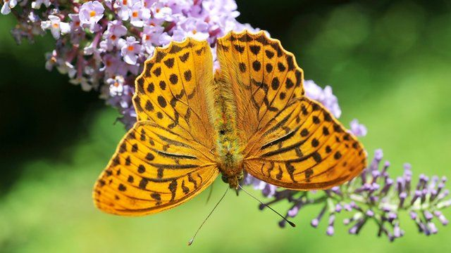 Silver-washed Fritillary, found in woodlands across southern parts of Wales