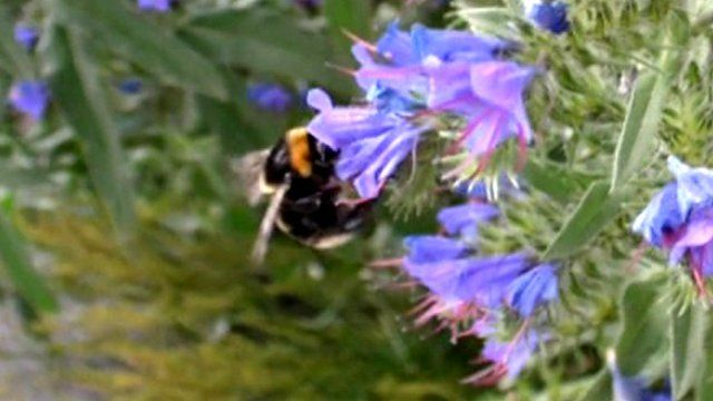 A short-haired bumblebee on a flower
