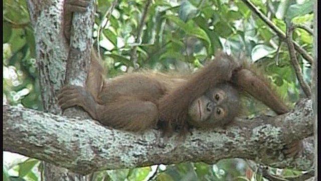 An orangutan in a tree