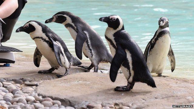 Penguins at London Zoo