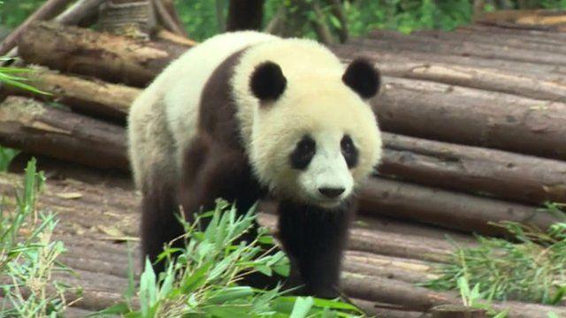 Panda in Sichuan sanctuary