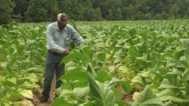 Man in tobacco fields
