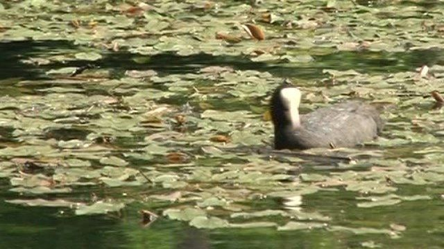 Coot on Cromford Canal