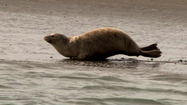 Seal in Thames estuary