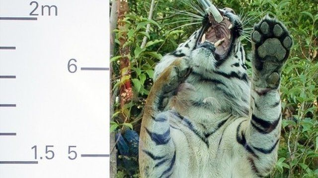 Jae Jae, a Sumatran tiger, is measured during the London Zoos annual weigh-in