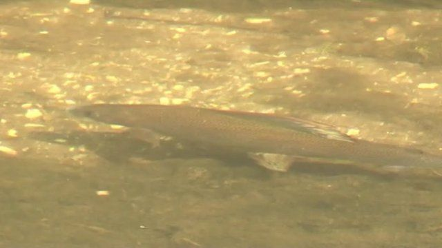 Fish in River Kennet