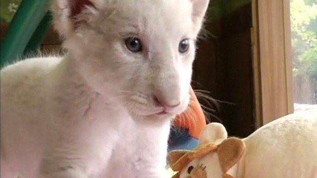 A white lion cub