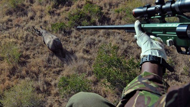 A Kenya Wildlife Services (KWS) vet prepares to shoot a tranquilizer dart at a wild male black rhino