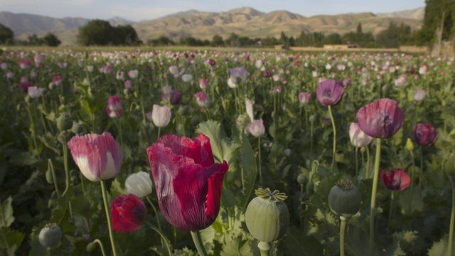 The opium sap from the bulb of the poppy plant is seen in a flowering poppy field