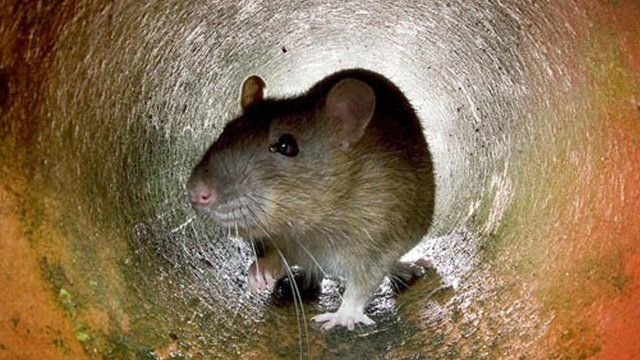 rat in sewer