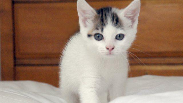 A white kitten