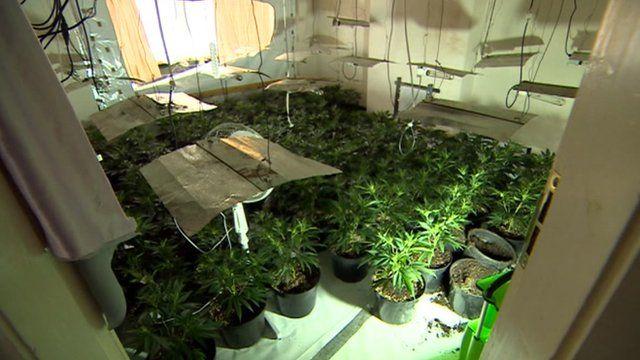A cannabis farm