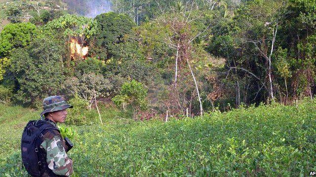 Drug enforcement police set plantations alight