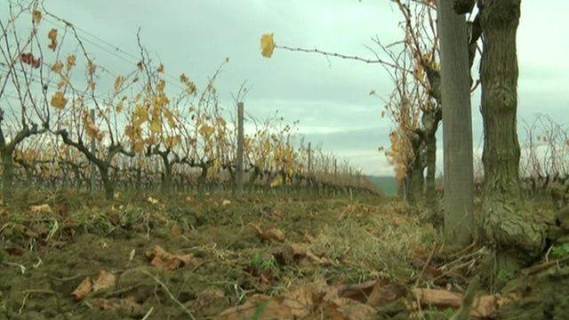 Vineyard in Turkey
