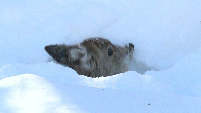 Deer rescued from Japan snowdrift