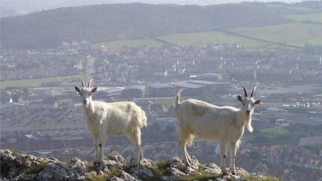 Goats with Llandudno behind them