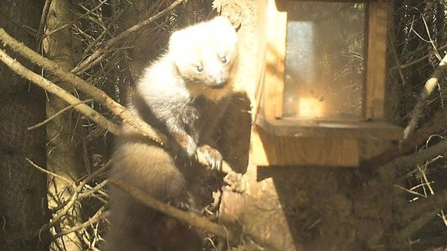 Pine martens are considered to be Ireland's rarest native mammal