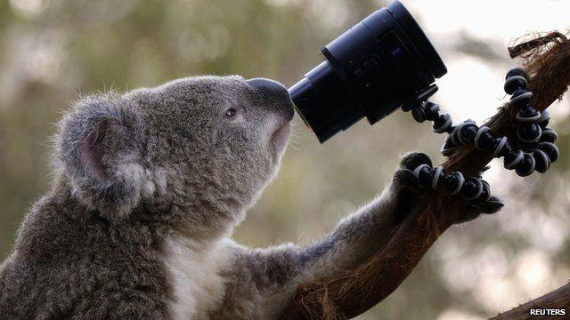 A Koala at Sydney Zoo looks into a camera