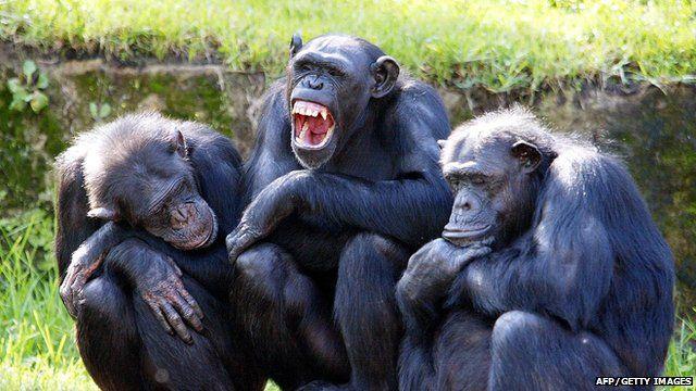 Three chimps sat on a log