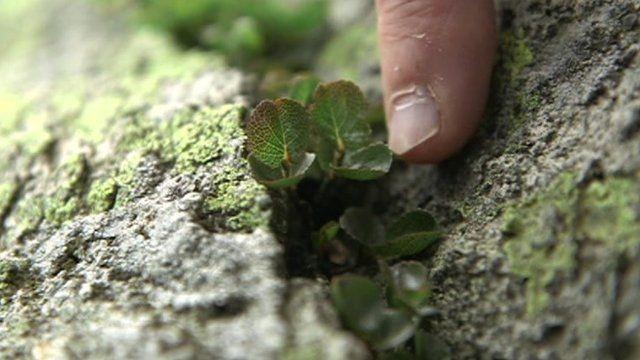 Dwarf willow growing in rock