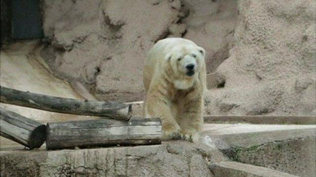 Arturo, the polar bear of the Mendoza zoo.